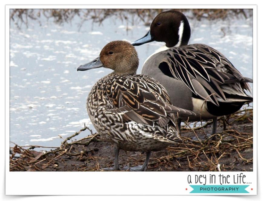 DucksBlog